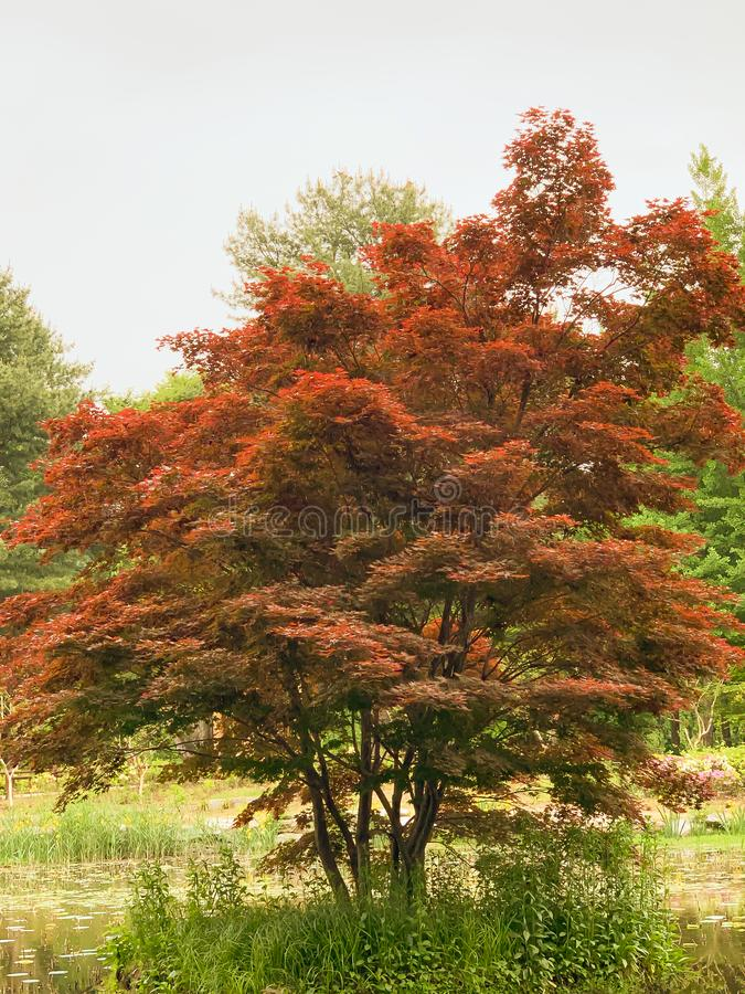 Красное дерево в парке стоковое изображение rf