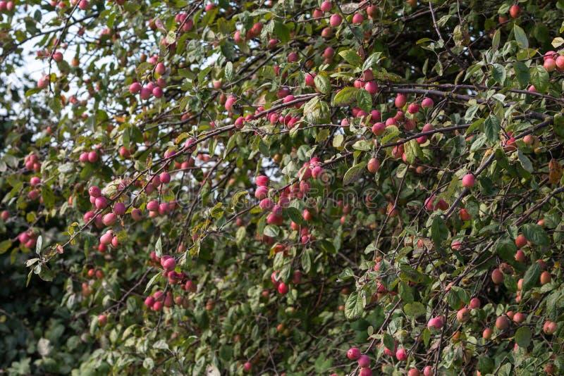 Красное дерево crabapples стоковые изображения rf