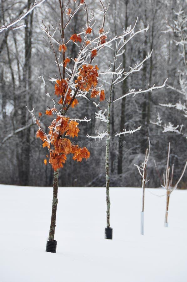 Красное дерево в снеге стоковые фотографии rf