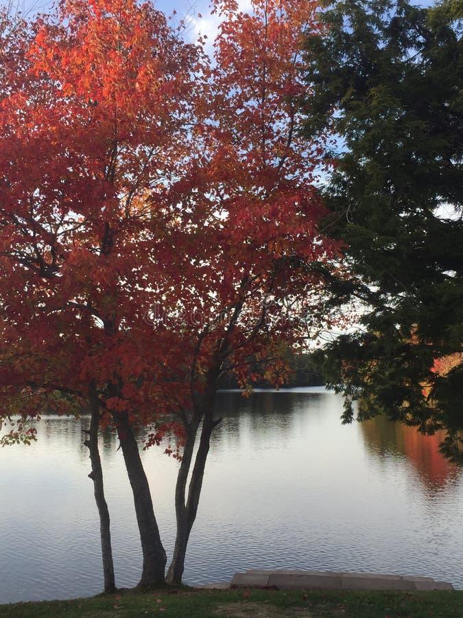 Красное дерево на озере Papermill стоковые изображения