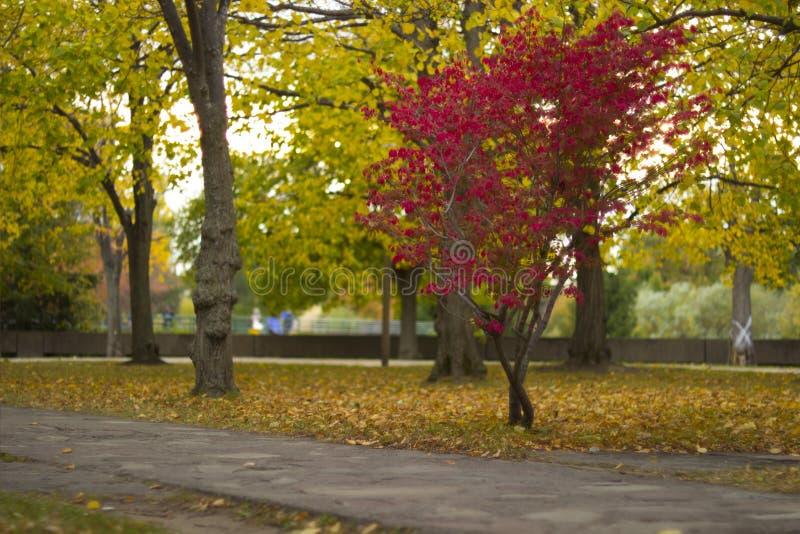 Красное дерево осенью стоковые фотографии rf