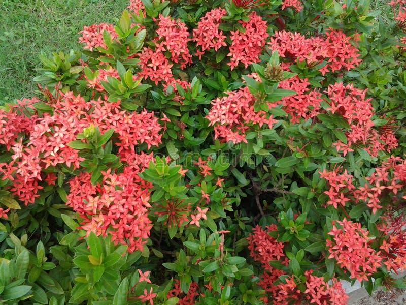 Красное дерево цветка стоковая фотография rf