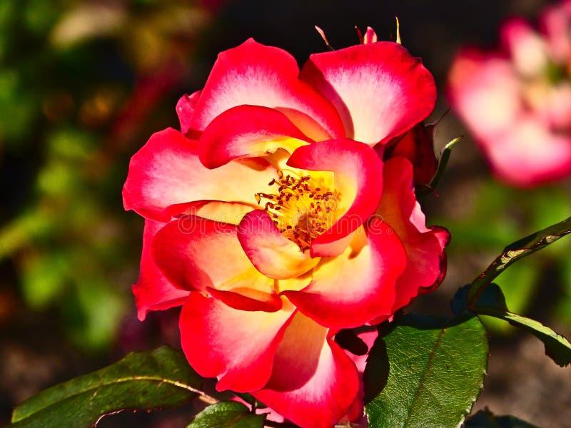 Красное желтое Роза на розарии Parnell, Окленде, Новой Зеландии стоковое фото