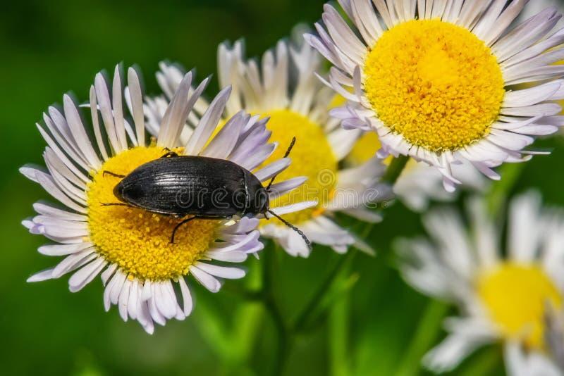 Красное и черное итальянское Striped lineatum Graphosoma ошибки жука или менестреля Вонючая ошибка на лист стоковое изображение rf