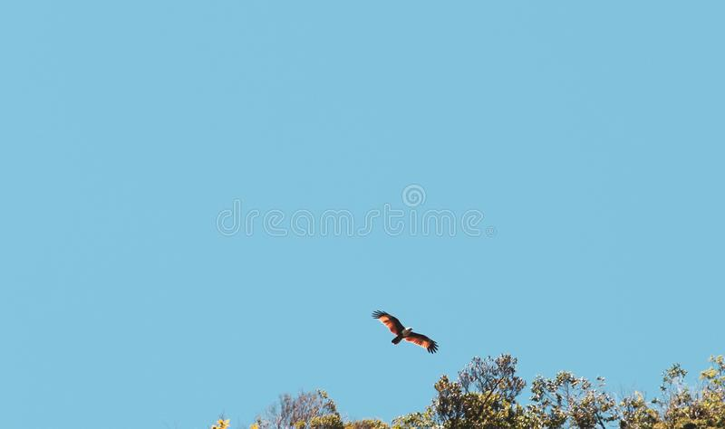 красное летание ястреба над небом стоковое фото