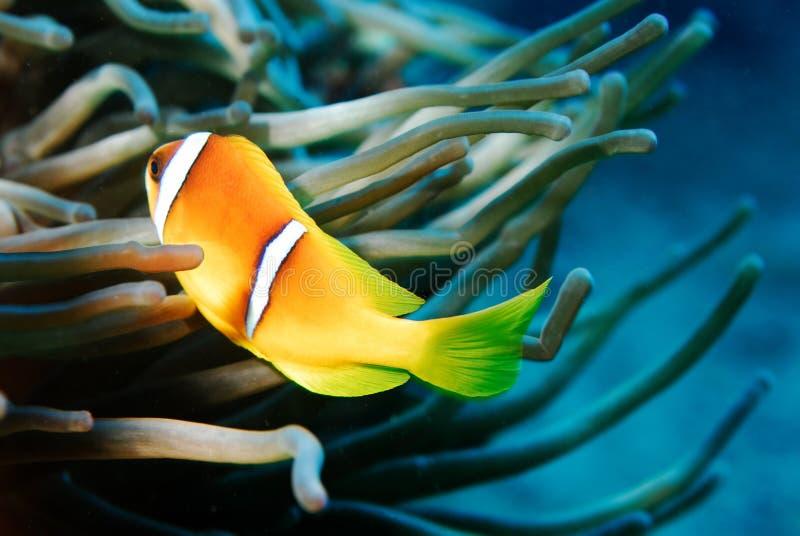 Красное Море рыб anemon стоковое фото