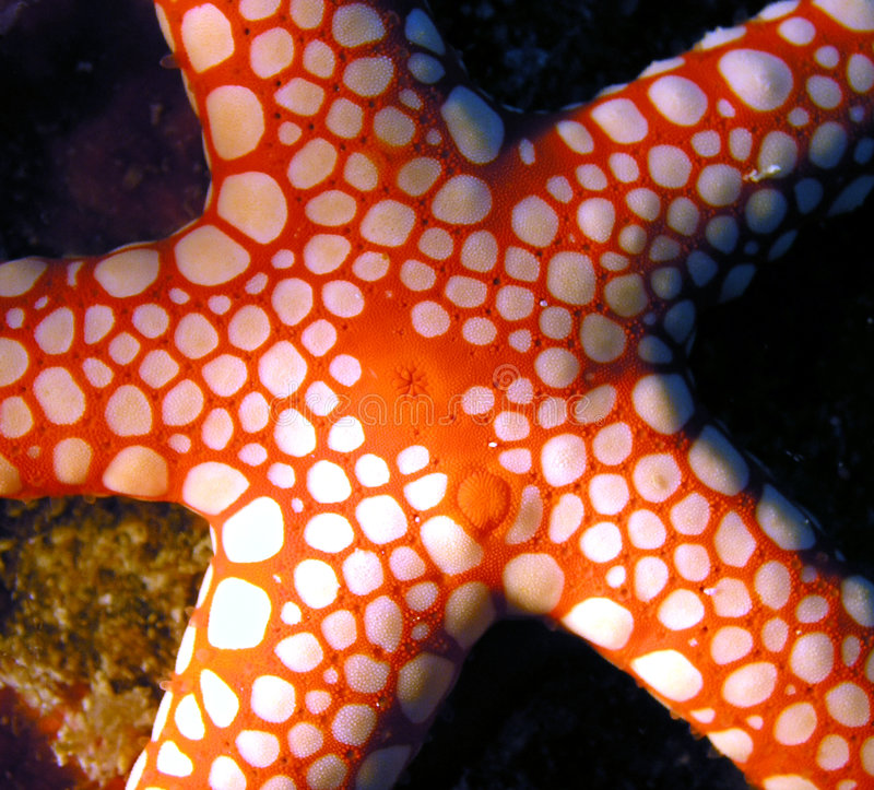 Красное Море рыб seastar
