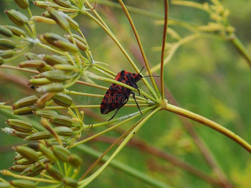 Красное насекомое в траве стоковое фото rf