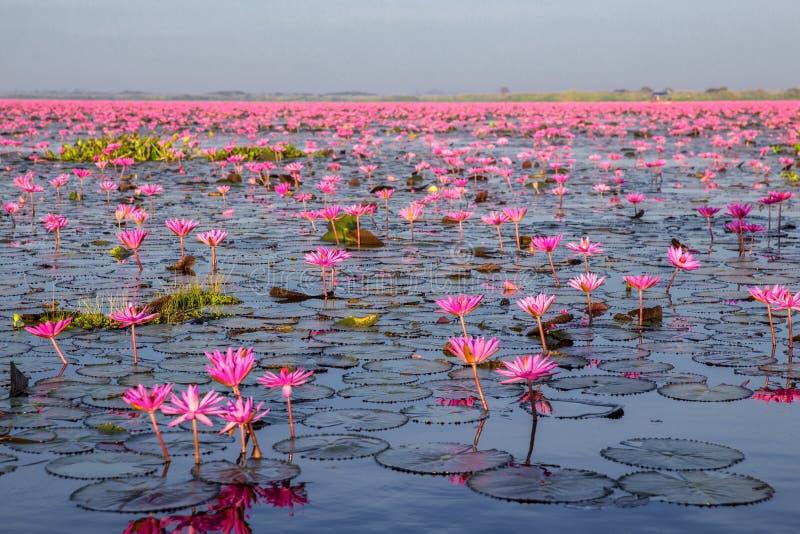 Красное озеро лотос на Хане Kumphawapi в Udonthani, Таиланде стоковая фотография