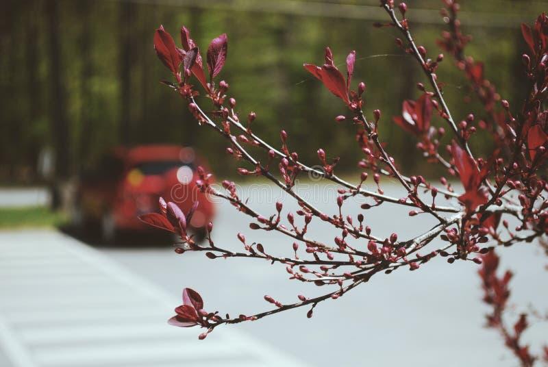 Красное отпочковываясь дерево стоковое изображение rf