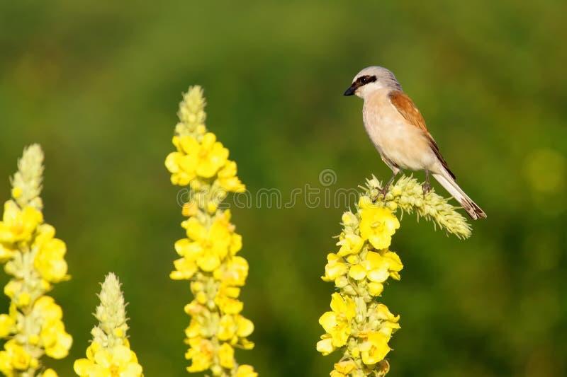 Красное подпертое Shrike на цветке Mullein стоковое фото