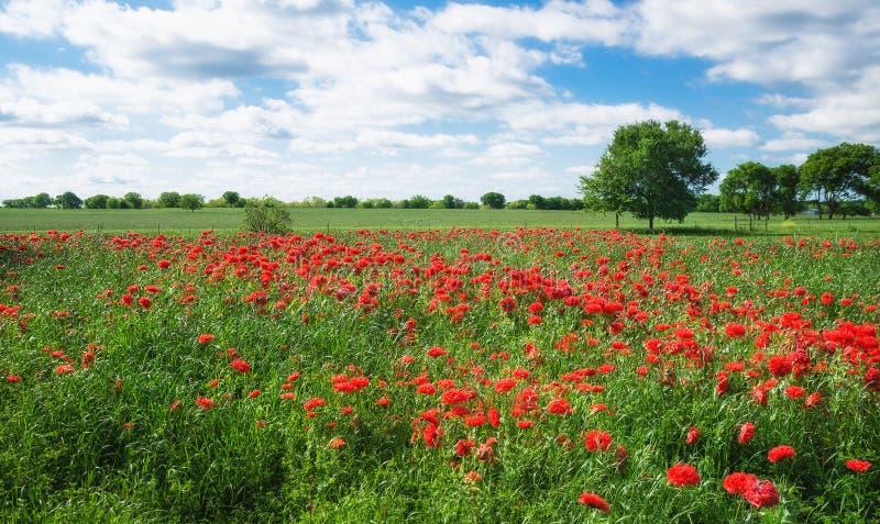 Красное поле мака гвоздики в весне Техаса стоковые фотографии rf