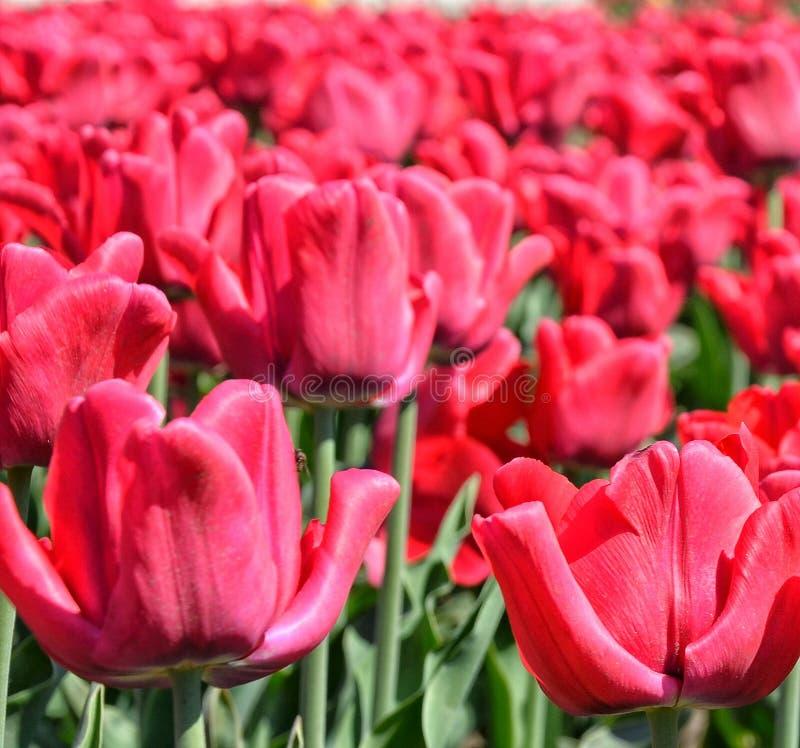 Красное поле тюльпанов стоковая фотография