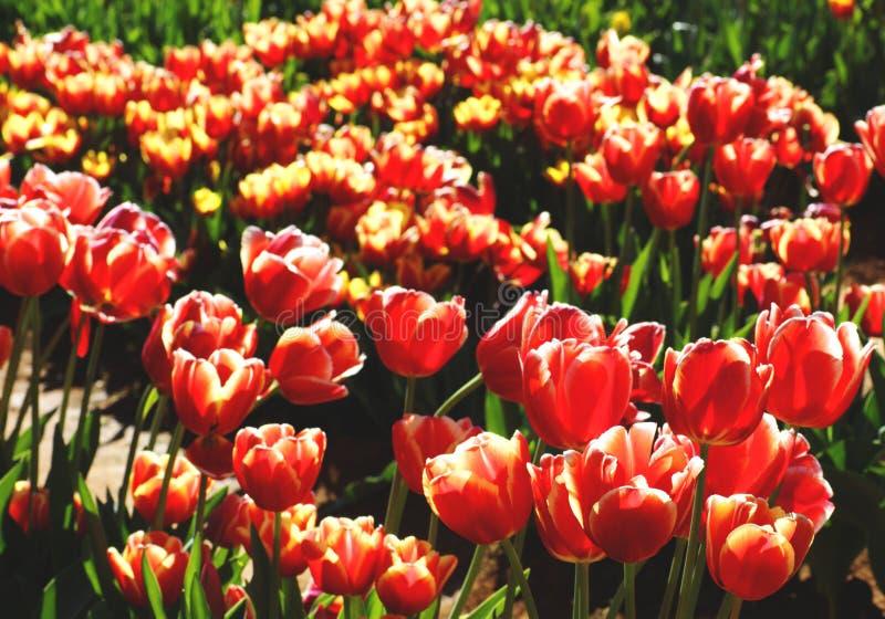 Красное поле тюльпанов стоковое изображение rf