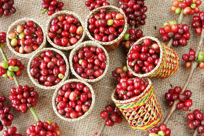 Красное свежее кофейное зерно стоковое фото rf