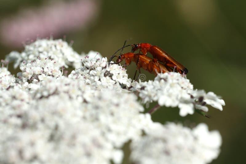Красное соединение жука солдата или жука bloodsucker стоковые изображения