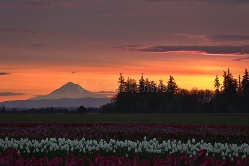 Красное утро над тюльпанами стоковые изображения rf