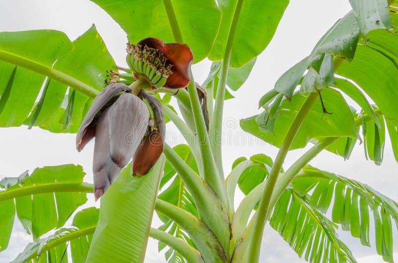 Красное цветение банана стоковое фото rf