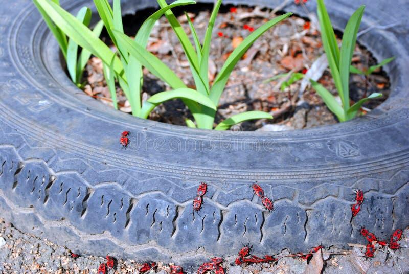 Красное apterus Pyrrhocoris группы клоп-солдатиков на серых старых колесах резиновой автошины тележки с растя цветками внутрь стоковая фотография rf