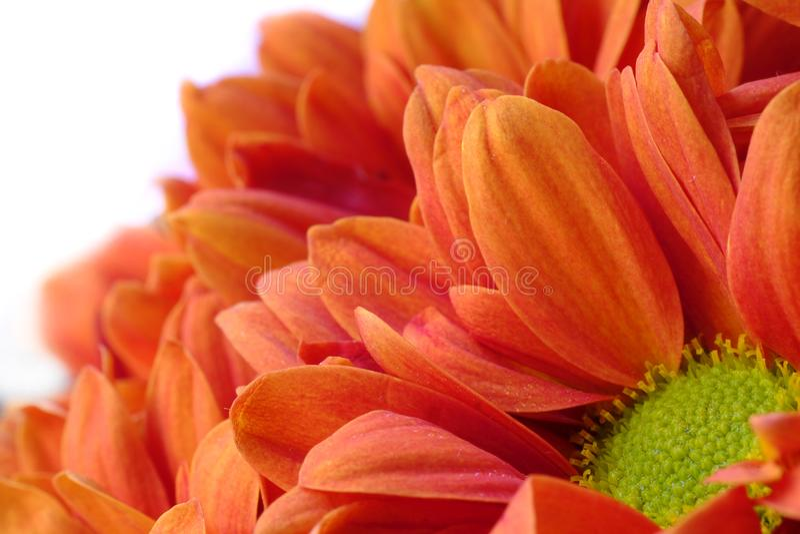 Красное chrysanthemium, взгляд макроса стоковая фотография