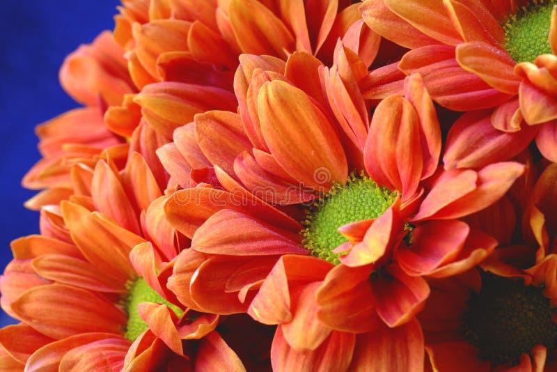 Красное chrysanthemium, цветок огня стоковое фото rf