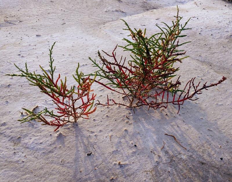 Красное europaea растя на топи соли, сценарная естественная предпосылка salicornia Пляж острова Dzharylhach, Украина стоковая фотография rf