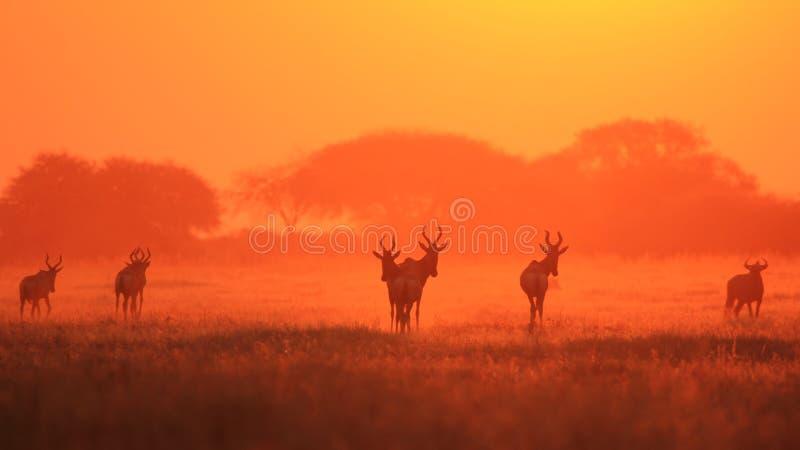 Красное Hartebeest - предпосылка живой природы - придушенное в золоте красного цвета захода солнца стоковое изображение