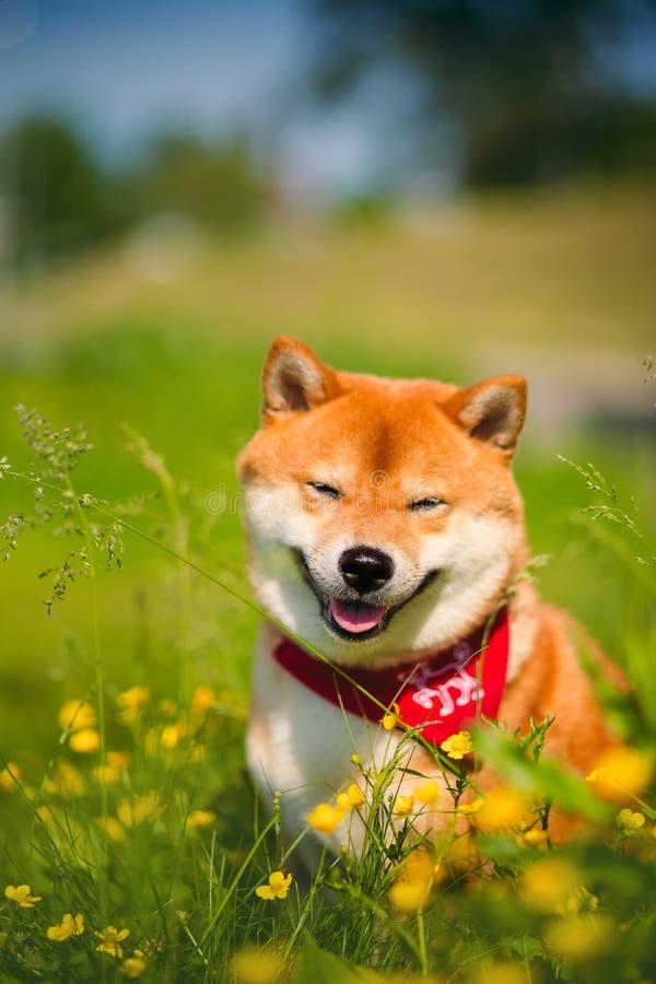 Красное inu Shiba собаки на природе на траве стоковая фотография rf