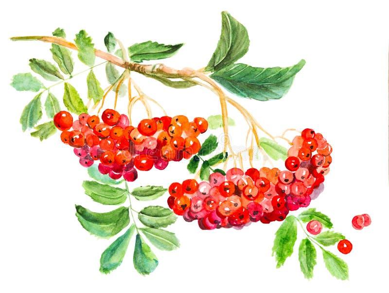 Красное opulus калины, общее имя guelder-Роза, ветвь с листьями и ягодами, лекарственным растением Нарисованная рука акварели иллюстрация штока