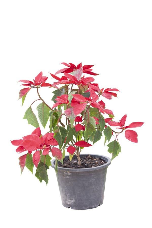 Красное pulcherrima Poinsettia или молочая дикое в черном пластиковом изоляте бака на белой предпосылке стоковое фото