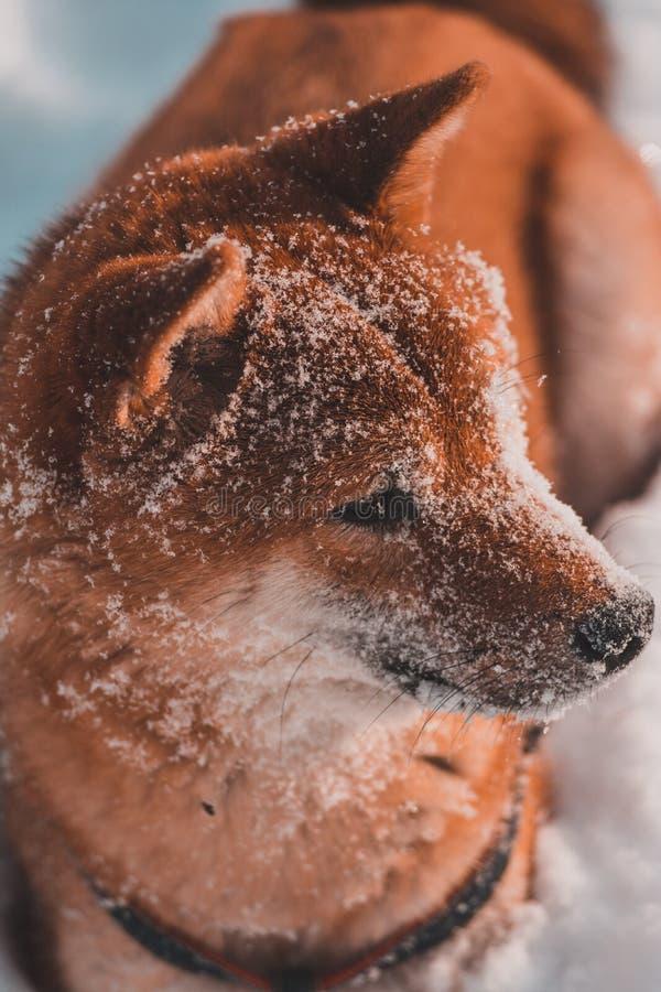 Красное shiba-inu собаки идет в заморозок, снег на шерстях стоковые фотографии rf