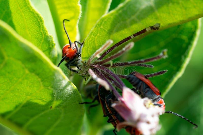 Красное tetrophthalmus Tetraopes жука Milkweed в Cerambycidae семьи на листьях общего Milkweed, syriaca Asclepias стоковые фотографии rf