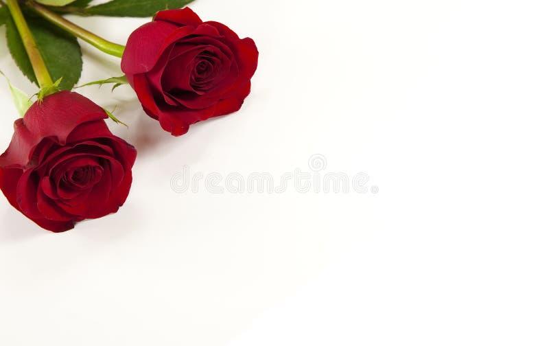 2 красной розы на изолированной предпосылке whits стоковое фото rf