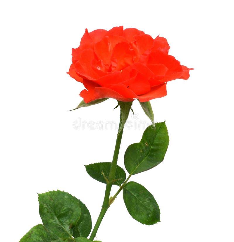 3 красной розы стоковые фотографии rf