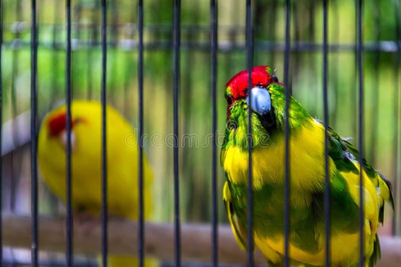 Краснокоронный попугай или попугайчик с красным фронтом, попугай какарики из Новой Зеландии стоковые фотографии rf