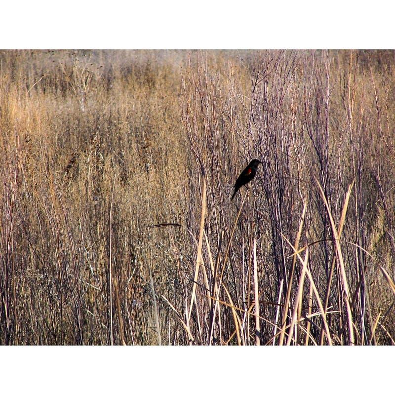 Красно-взваленная охраняемая природная территория Bosque del апаша кукушк стоковые изображения rf