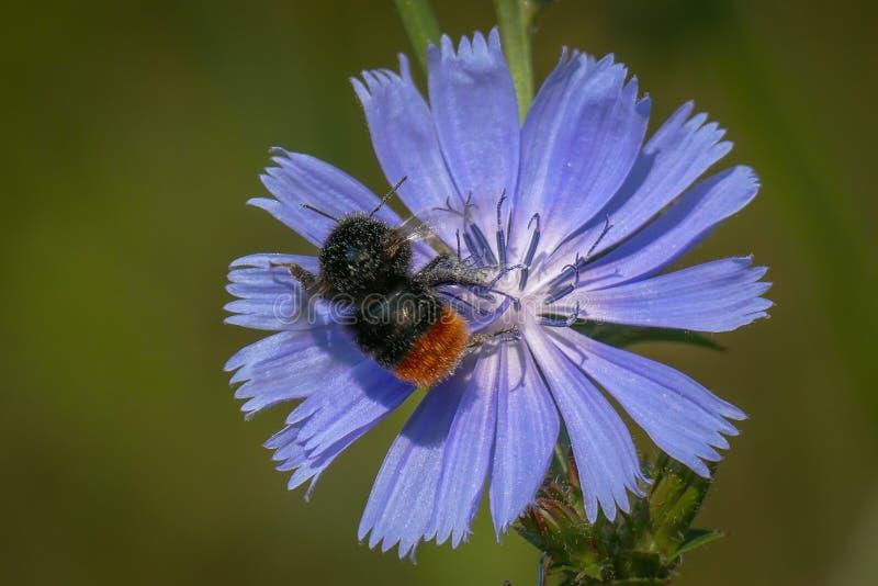 Красно-замкнутый шмель на одиночном небесно-голубом цветке общего цикория стоковые изображения