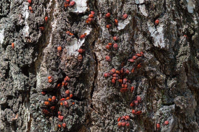 Красно-запятнанное apterus Pyrrhocoris жуков сидит на коре дерева стоковая фотография rf