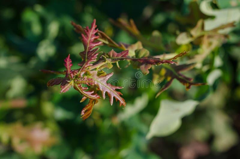 Красно-зеленые молодые листья дерева в солнце : r стоковое изображение rf