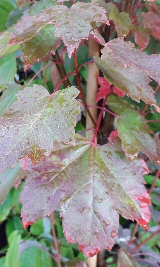 Красно-коричневые осенние листья с раиндропами стоковые изображения