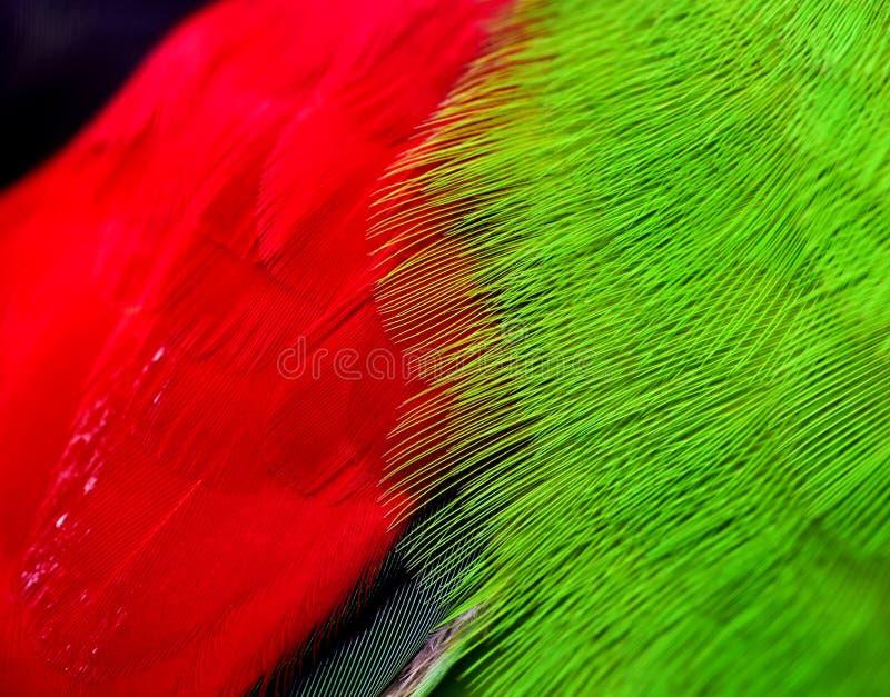 Красно-, который подогнали пер попугая стоковые фотографии rf