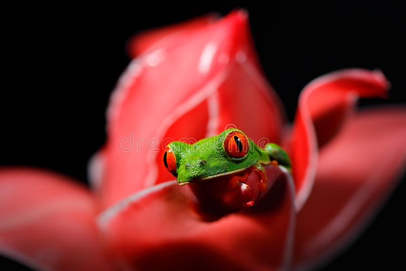 Красно-наблюданная древесная лягушка, callidryas Agalychnis, животное с большими красными глазами, в среду обитания природы, Кост стоковые фото