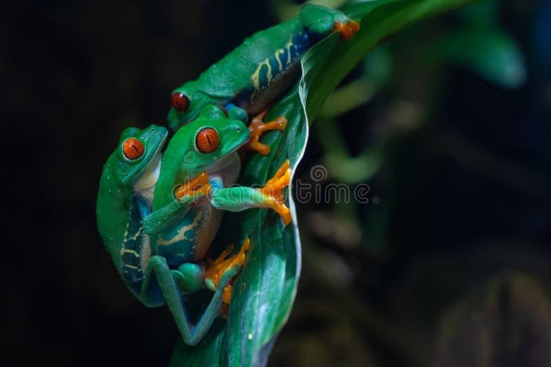 Красно-наблюданная древесная лягушка, callidryas Agalychnis стоковые изображения rf