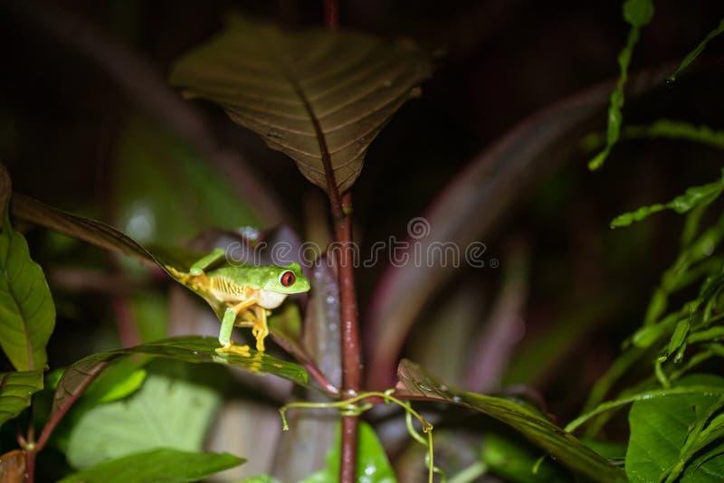 Красно-наблюданные callidryas Agalychnis лягушки лист стоковая фотография
