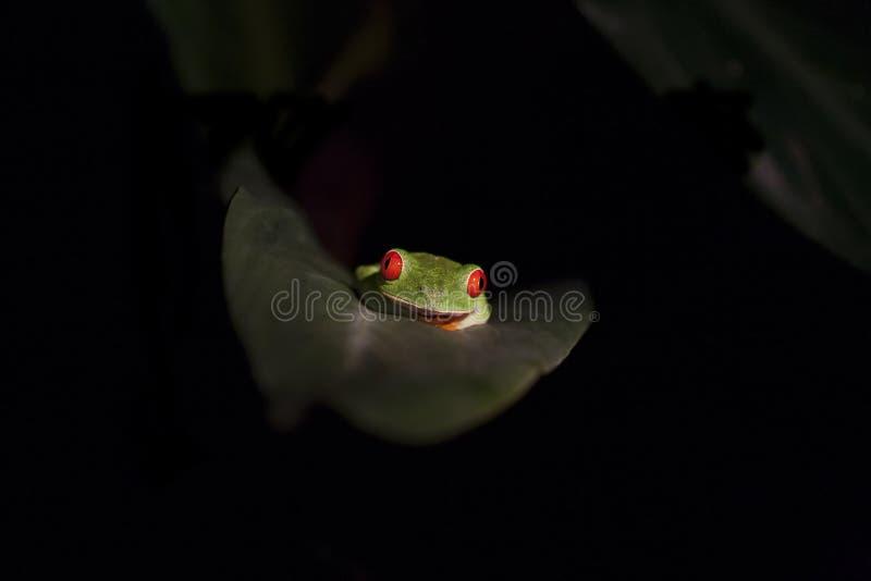 Красно-наблюданная древесная лягушка в лист ладони стоковые изображения