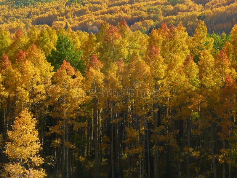 Красно-наклоненная роща осины стоковое фото