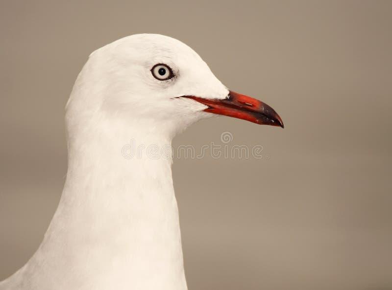 Красно-представленный счет портрет чайки стоковое изображение