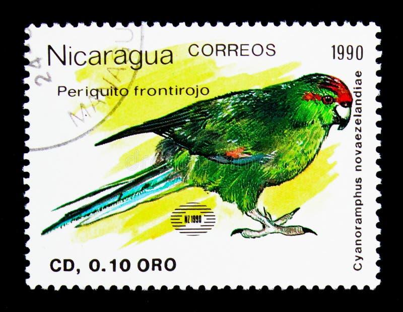 Красно-увенчанный длиннохвостый попугай (novaezelandiae) Cyanoramphus, Новая Зеландия стоковое изображение rf