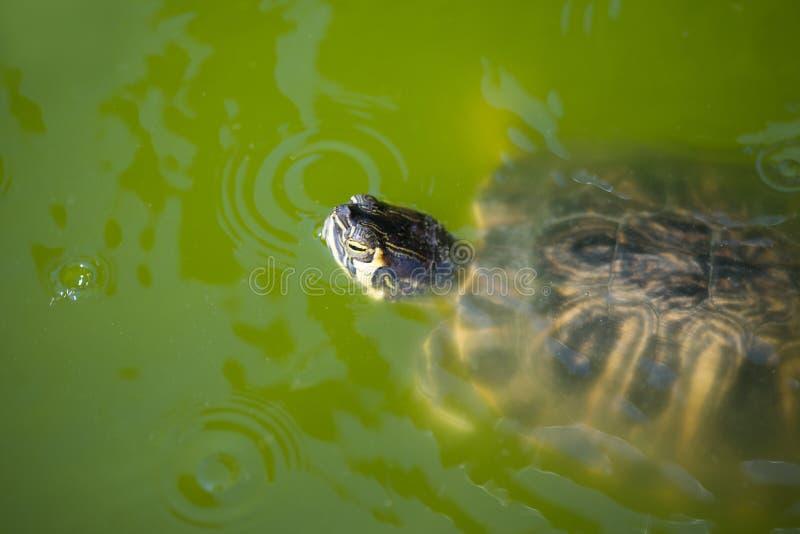 Красно-ушастое заплывание слайдера в его среде обитания стоковое изображение rf
