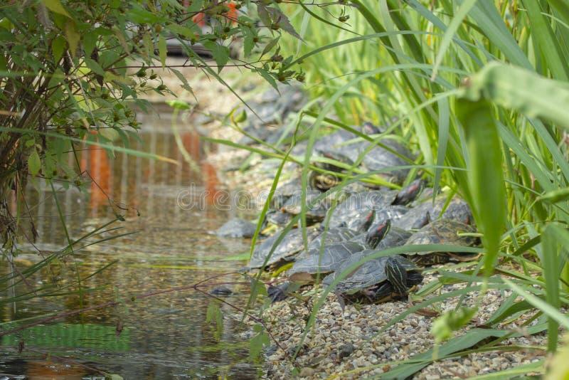 Красно-ушастый слайдер в диком, черепахи отдыхает на скалистом береге пруда озера Elegans scripta Trachemys в естественной среде  стоковое изображение rf